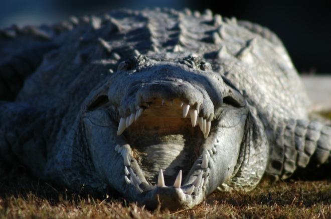 Des scientifiques ont donné des écouteurs et de la kétamine à des alligators pour étudier l'ouïe des dinosaures